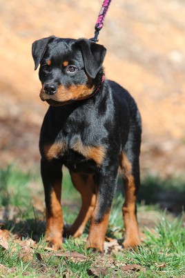 tennessee rottweiler puppies rayka