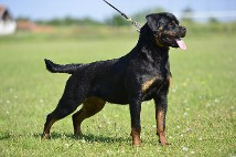 rottweiler female in Oregon