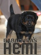 akura x Hannibal rottweiler puppy male