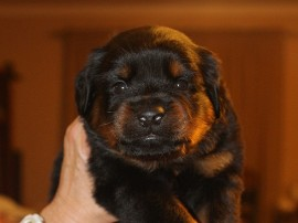 rottweiler puppy female in tennessee
