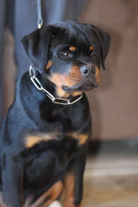 rottweiler puppy for sale in Washington