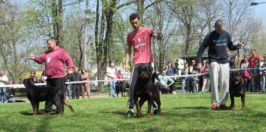 Ajax Rottweiler male at Serbia show