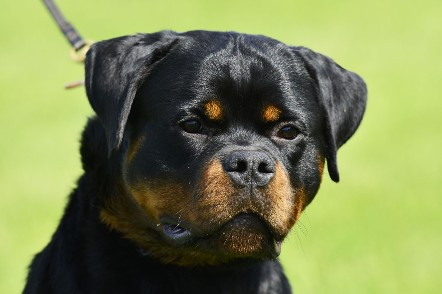 Rottweiler youth male