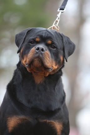 ajax male rottweiler virginia