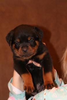 tennessee rottweiler puppies