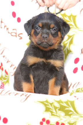rottweiler puppies female