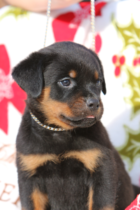 rottweiler puppy female2a