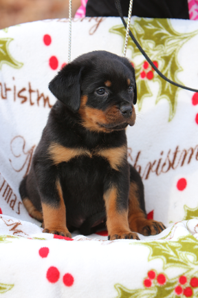 tennessee rottweiler female puppy