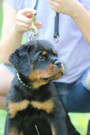rottweiler puppy in atlanta