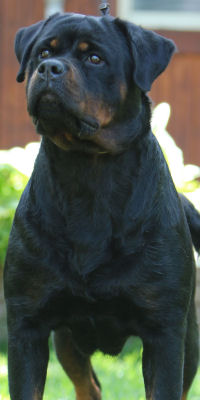 rottweiler female in california