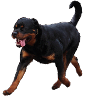 rottweiler running and gaiting
