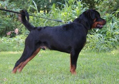 rottweiler male youth