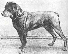 History Of The Rottweiler Rottweiler History About The