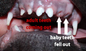 how to help puppy teeth fall out