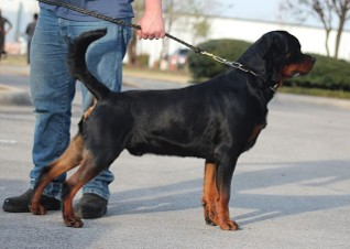 Rottweiler side view excellent top line