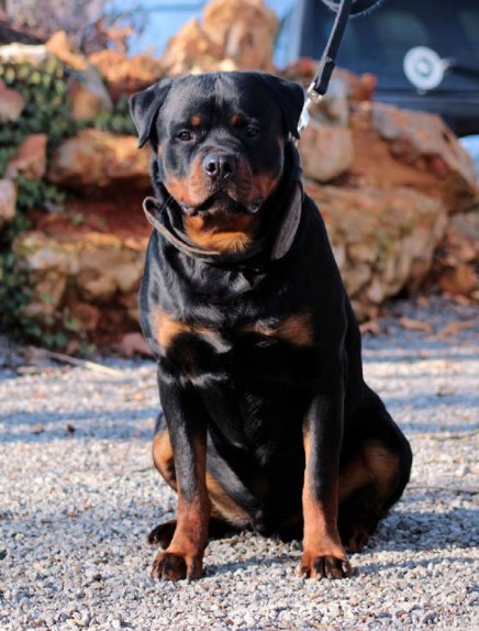 16 month Large Rottweiler male