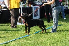 Balou Rottweiler Puppy RKNA show ring