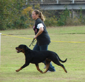 lexa show gaiting rottweiler female