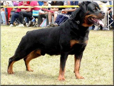 MORRO VOM HAUSE MARKER ROTTWEILER MALE