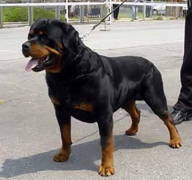 Brando Von Kelemen Rottweiler Stud Male Germany Stud Dog