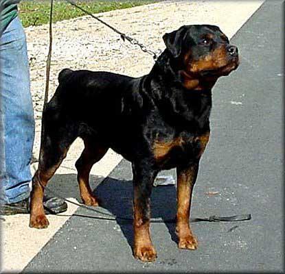KING VOM SCHWAIGER WAPPEN - Rottweiler stud male Germany - Musikstadt