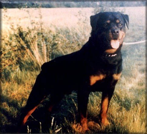 CARLO VOM HAMBERGER MICHAEL ROTTWEILER MALE