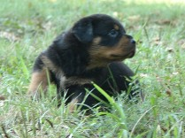 rottweiler puppy with beautiful head