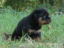 rottweiler puppy in grass