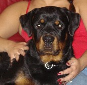 rottweiler youth