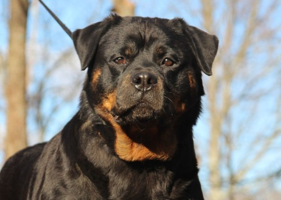 female rottweiler in tennessee