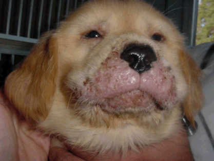 puppy strangles face muzzle swelling