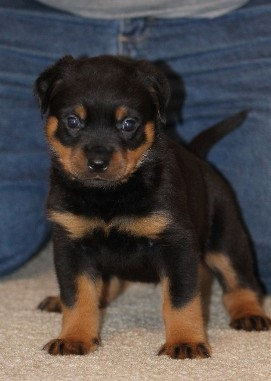 rottweiler male puppy tennessee