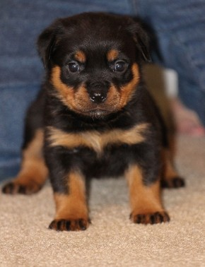 tennessee rottweiler female