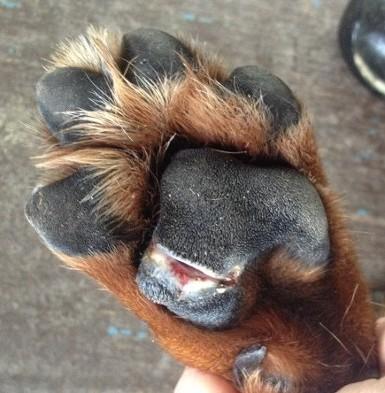 dog pad injury