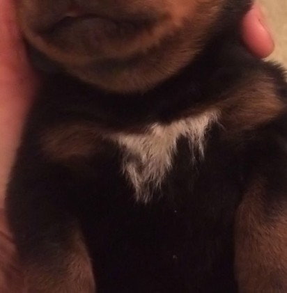 white spot on rottweiler puppies