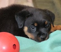 rottweiler puppy 8 weeks old