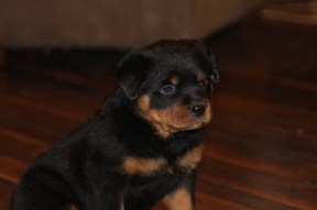 beautiful rottweiler pup