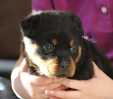 rottweiler female tennessee