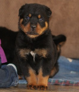 rottweiler male tennessee